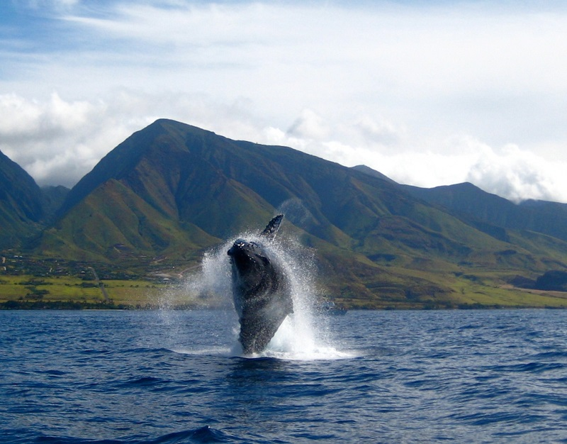 maui whale-watching boat tours