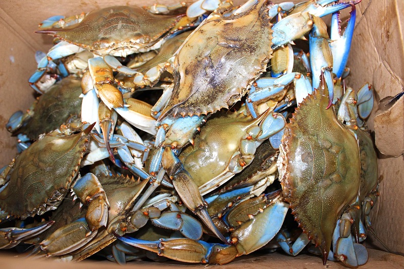 maryland crab blue eat